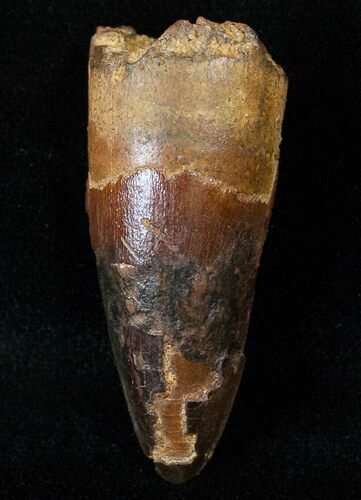 Large Cretaceous Fossil Crocodile Tooth - Morocco