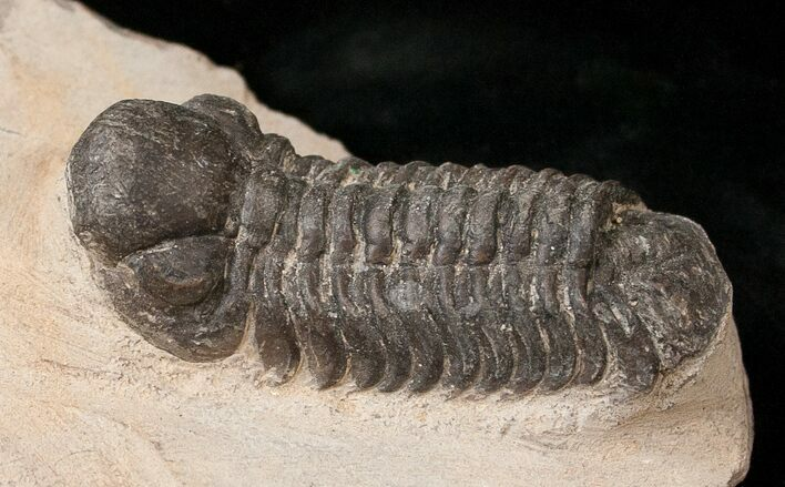 "Bargain Reedops Trilobite Fossil - 2"" Long"