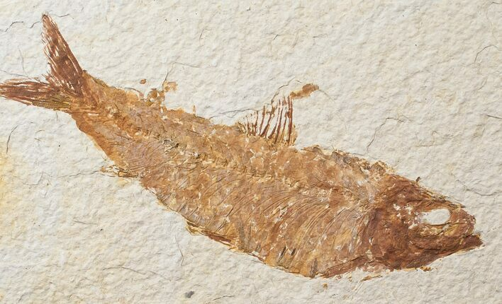 "Bargain 5.0"" Knightia Fossil Fish - Wyoming"