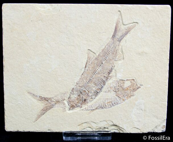 Double Knightia Fossil Fish Plate