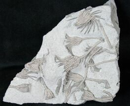 Echinoderm Fossils For Sale