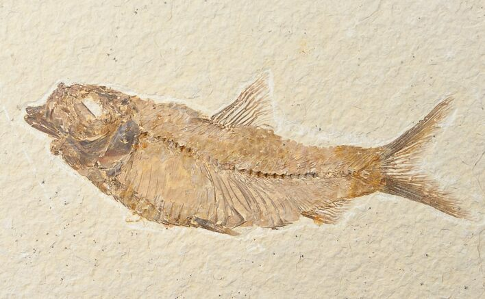"Large 4.5"" Knightia Fossil Fish - Wyoming"