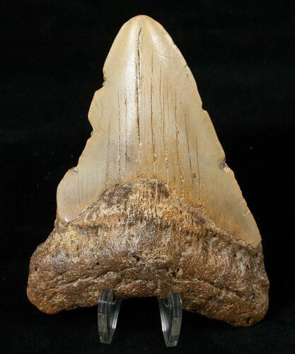 "4.17"" Megalodon Tooth - North Carolina"