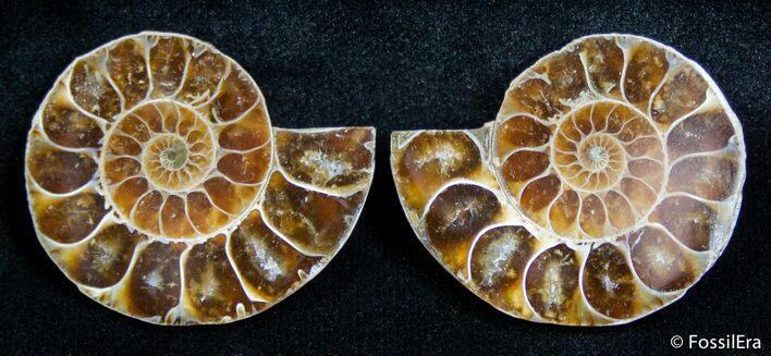 1.4 Inch Split Ammonite Pair