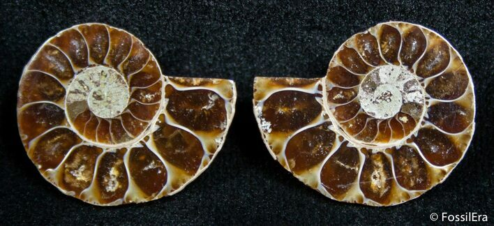 0.9 Inch Split Ammonite Pair