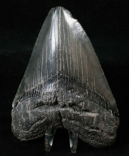 "Robust 4.77"" Megalodon Tooth - South Carolina"