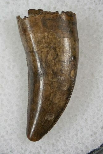 ".9"" Nanotyrannus Tooth - South Dakota"