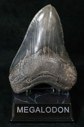 "Massive 5.89"" Megalodon Tooth With Serrations"