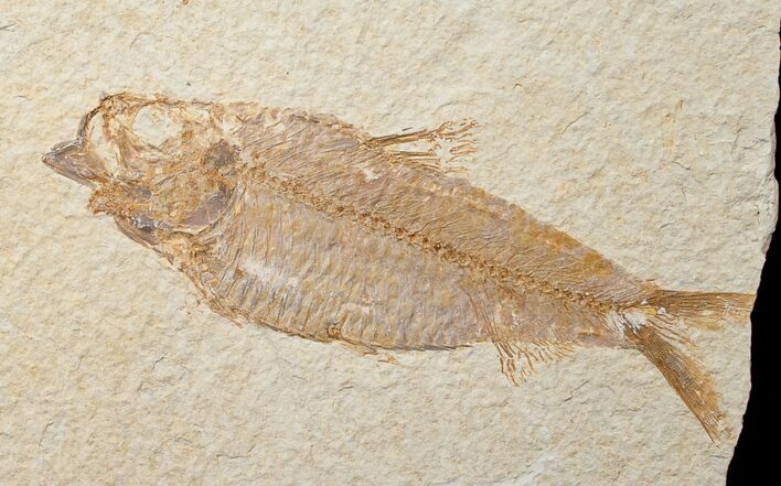 "Bargain 4.9"" Knightia Fossil Fish - Wyoming"