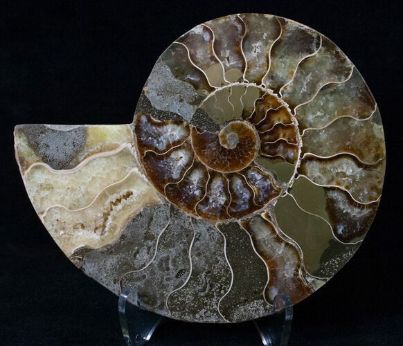 "4.8"" Agatized Ammonite Fossil (Half)"