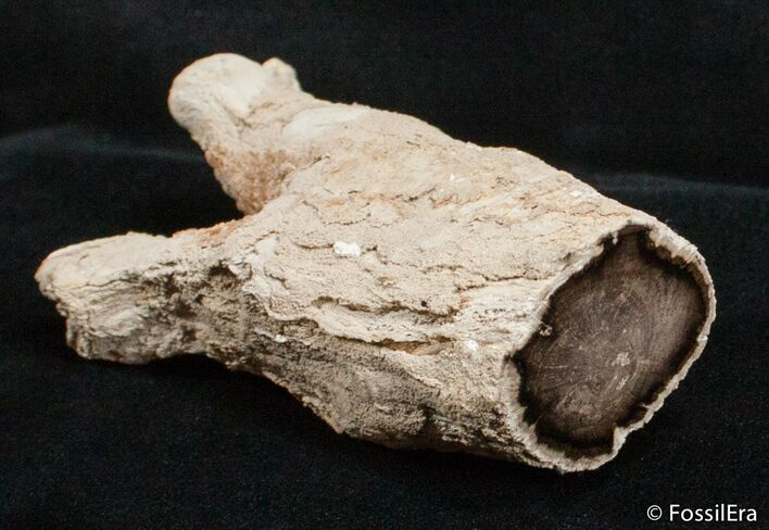 Petrified Juniper Limb/Root - McDermitt, Oregon