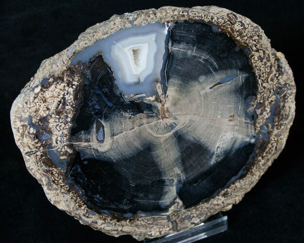 Blue Forest Petrified Wood Slice - 5""