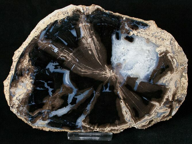 Blue Forest Petrified Wood Slice - 6.1""