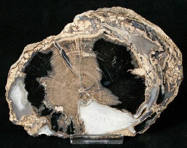Blue Forest Petrified Wood Slice - 5.0""
