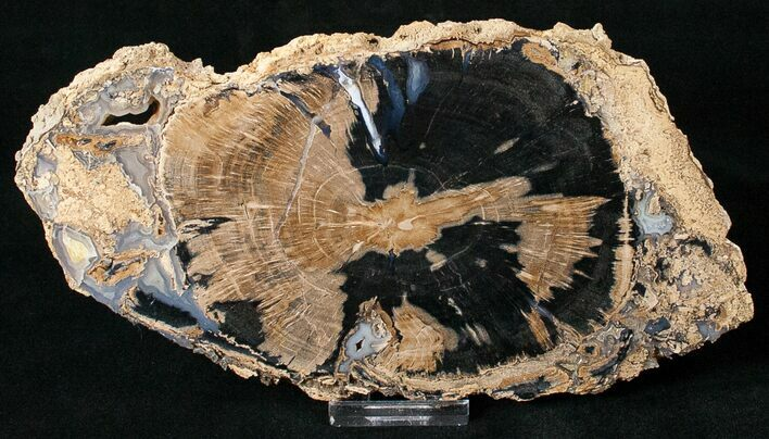 Blue Forest Petrified Wood Slice - 8.1""