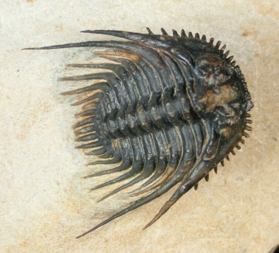 "Big 1.4"" Leonaspis Trilobite With Free-Standing Spines"