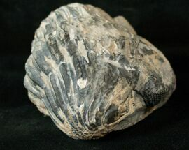 Drotops megalomanicus - Fossils For Sale - #17292