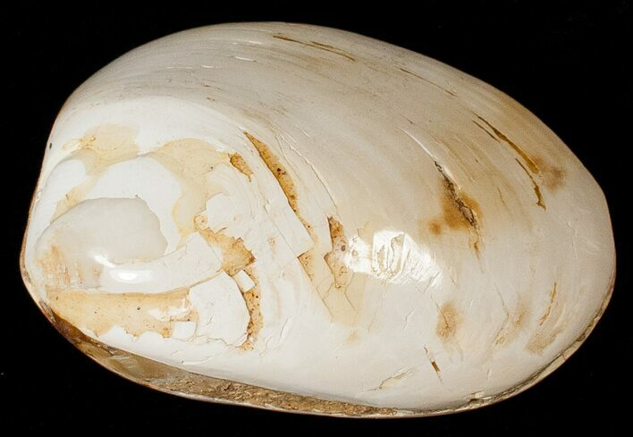 "3"" Wide Polished Fossil Clam - Jurassic"