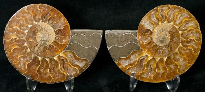 "3.92"" Polished Ammonite Pair - 110 Million Years"