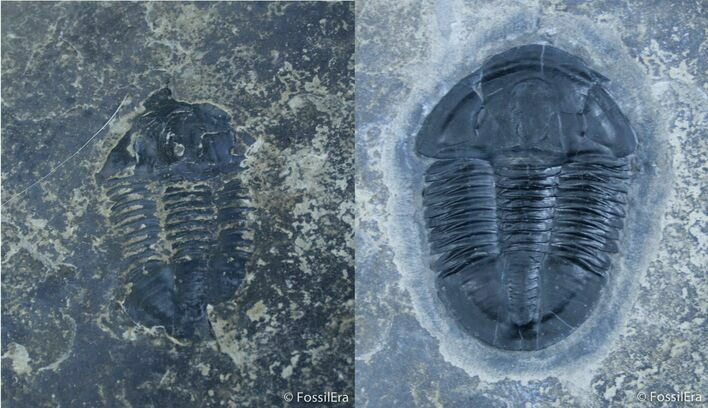 Near Perfect Asaphiscus Trilobite - U-Dig Quarry