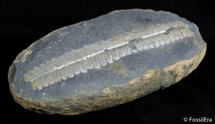 3 Inch Mazon Creek Fern Fossil