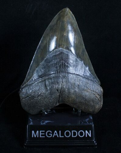 6.19 Inch Megalodon - Steak Knife Serrations