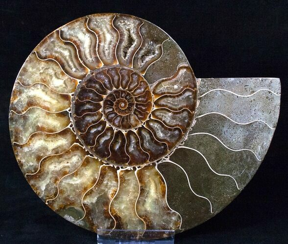 "Beautiful 8"" Split Ammonite Half - Agatized"