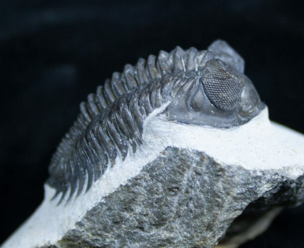 2 Inch Coltraneia Trilobite - Tower Eyes