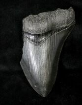 Carcharocles megalodon - Fossils For Sale - #19056
