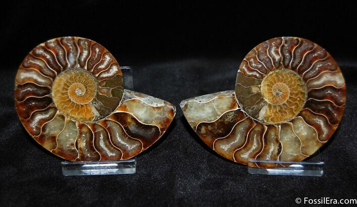 Split and Polished Ammonite - 3.3 Inches Wide