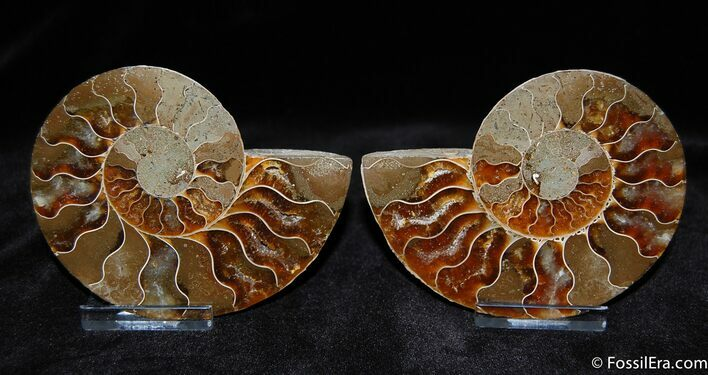 Very nice 3.6 Inch Split Ammonite Pair