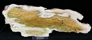 Buy Strelley Pool Stromatolite - Oldest Known Life (3.43 Billion Years) - #22483