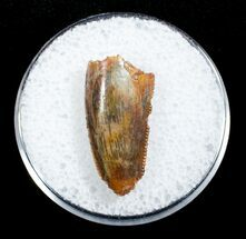 Buy Dromaeosaur Tooth From Morocco - #3325