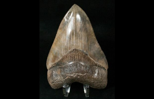 4.26 megalodon Shark Tooth L fossil